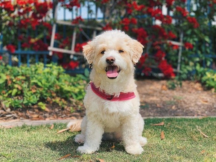 Cute Small Dog Breeds-Maltipoo