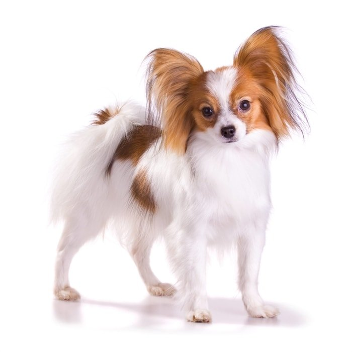 Cute Small Dog Breeds- Papillon