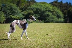 Cute Small Dog Breeds-Whippet
