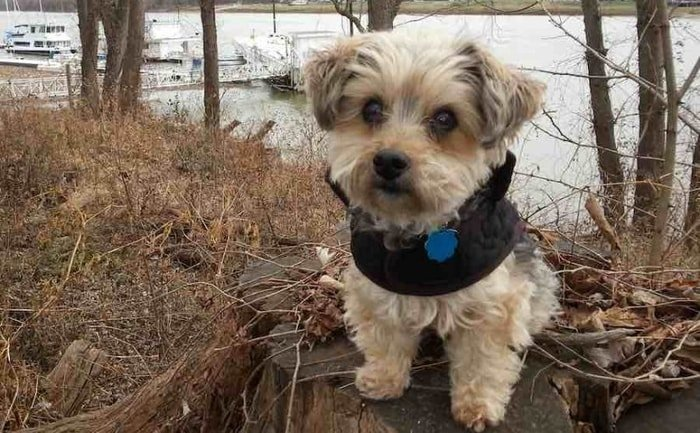 Cute Small Dog Breeds- Yorkipoo
