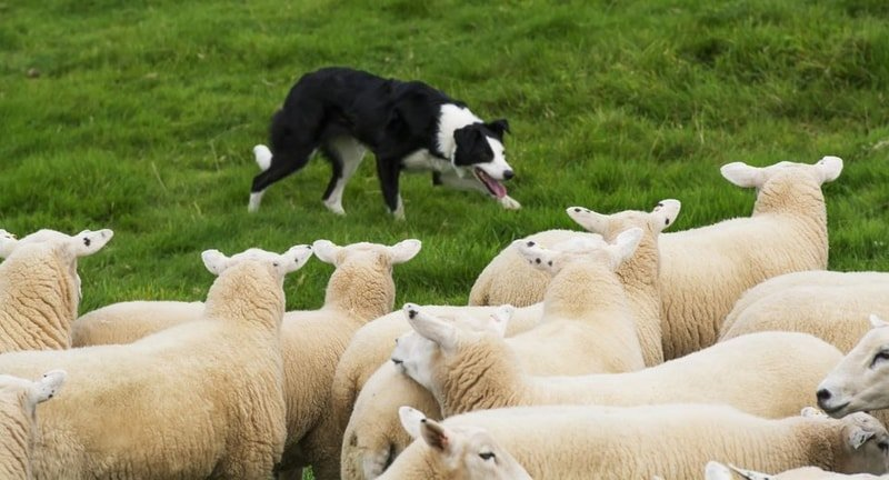 Herding of Sheep by Dogs