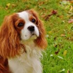 Show Dogs Breeds - King Charles Spaniel