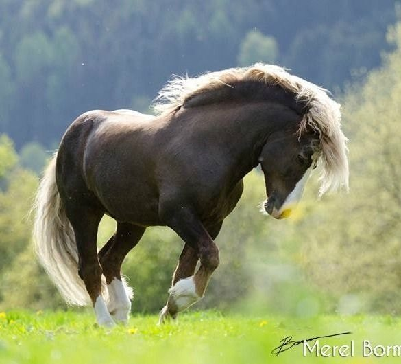 black_forest_horse