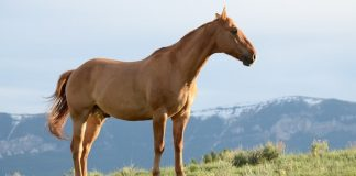 A Good Healthy Horse without Laminitis