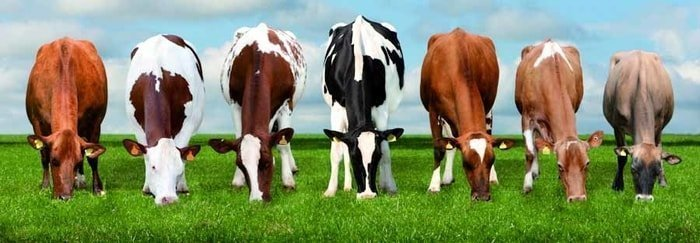 Beautiful Dairy Cattle Breeds