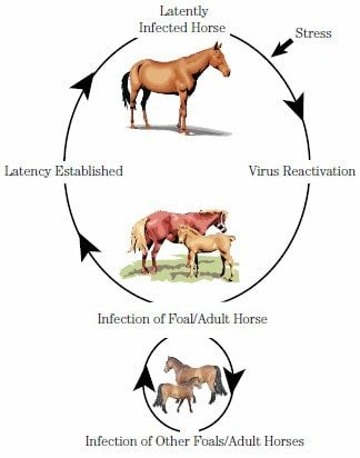 Equine Herpes Virus Infection