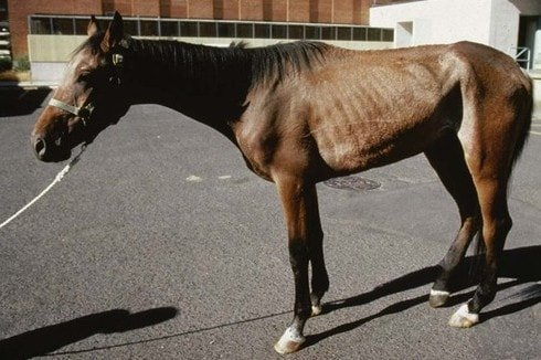 Equine Infectious Anemia