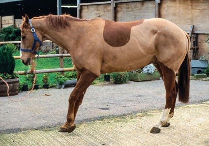 Laminitis in Horse