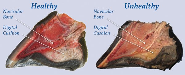 Navicular Disease of Horse Hoof