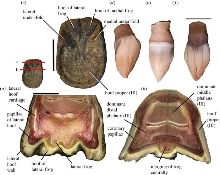 Parts of Healthy Horse Hoof