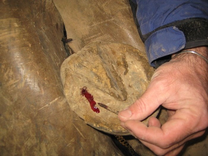 Picked Up Nail of Horse Hoof