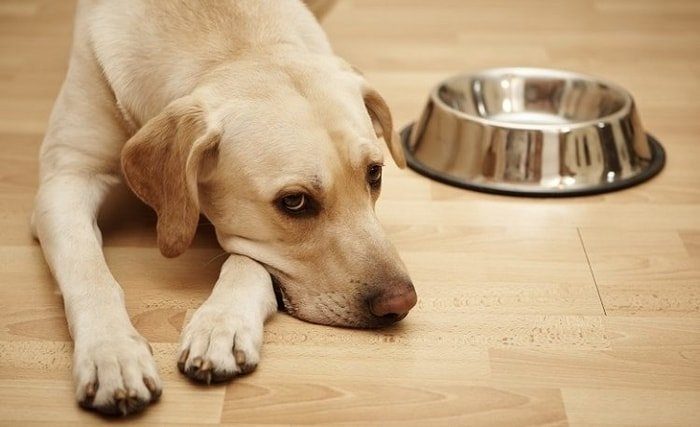 Canine Distemper- Refuse to Eat