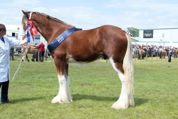 Horse Breeds- Clydesdale