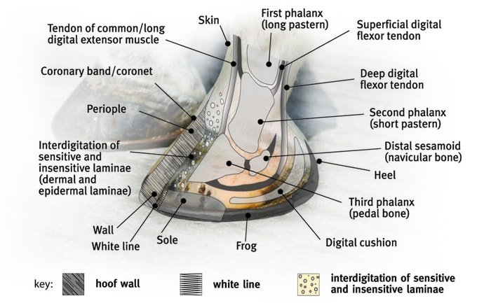 Horse Hoof Structure Detail