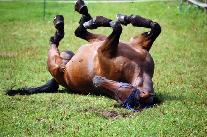 Colic Symptoms- Rolling on Ground