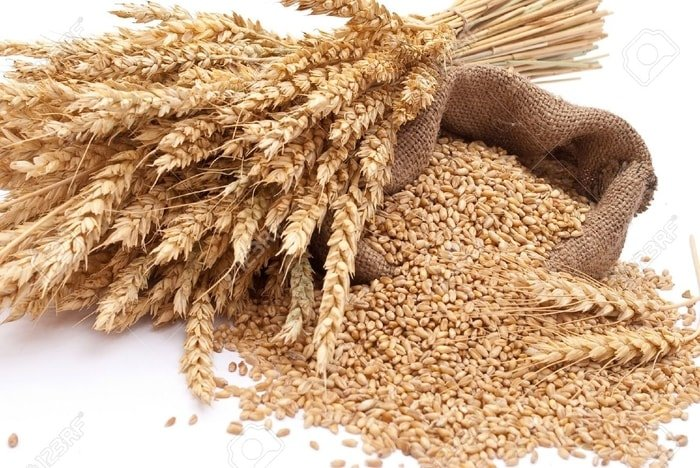 Wheat- Important Part of Horse Ration