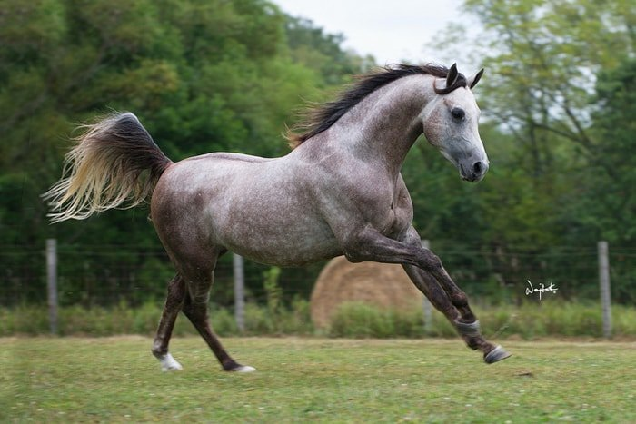 Arabian Horse- Grey