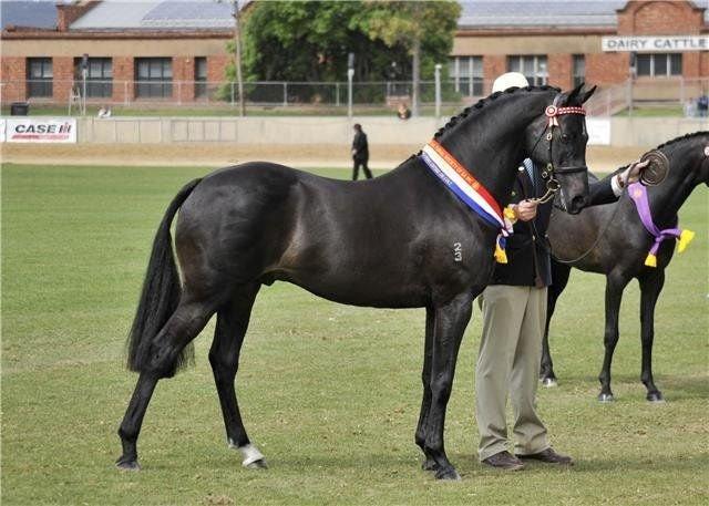Australian Stud Pony