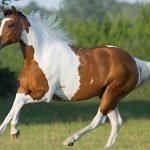 Beautiful paint Horse