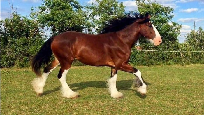 Gait of Clydesdale Horse