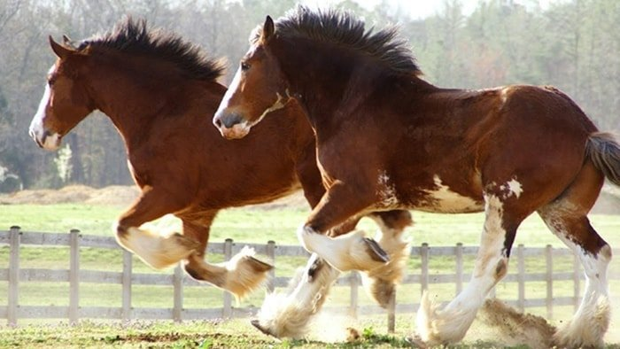 Running Clydesdale