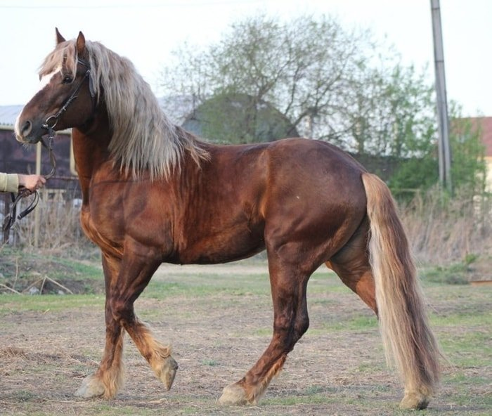 Russian Heavy Draft Horse