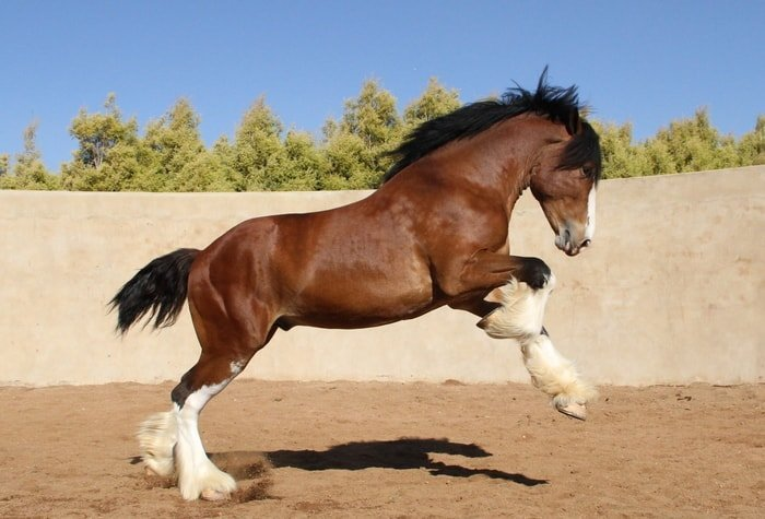 Showing Clydesdale