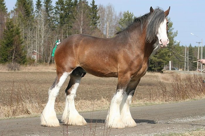 Standing Clydesdale