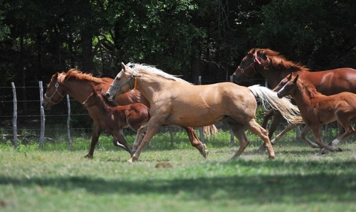 Behavior of American Quarter Horse