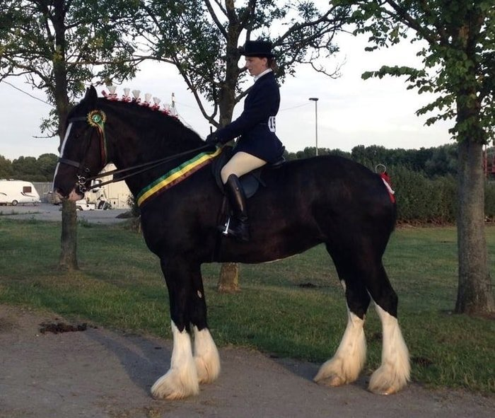 Easy to Manage Shire Horse