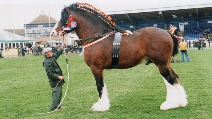 Good Conformation of Shire horse