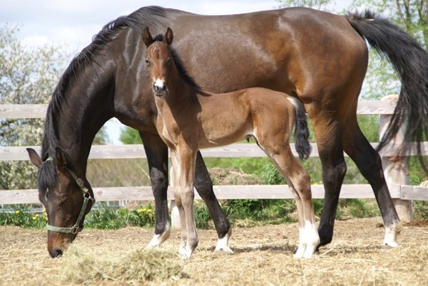 Mother Warmblood Horse