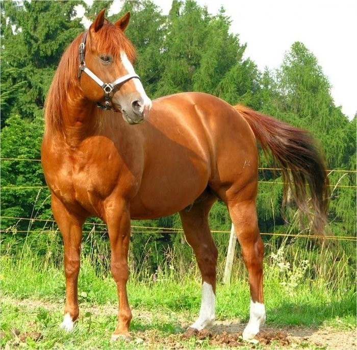 Origin of American Quarter Horse