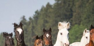 Rare Horse Breeds of The World