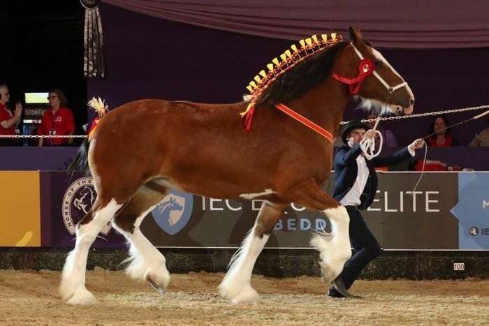 Showing Shire Horse