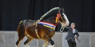 The Shire Horse Breed