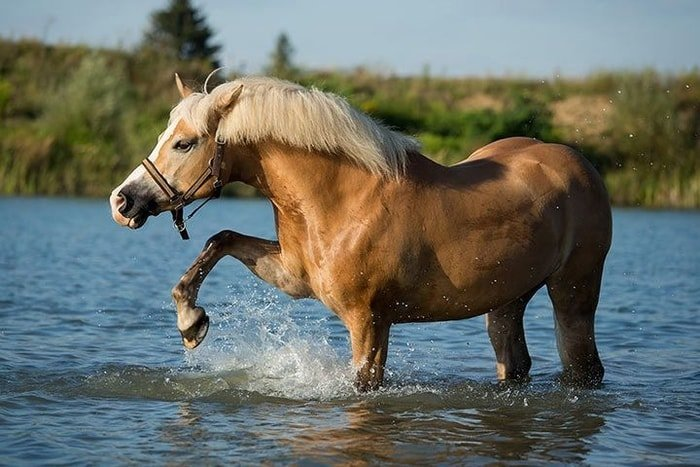 Haflinger Horse Breed