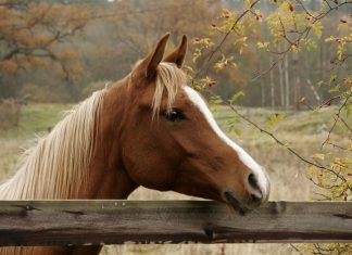 Horse with Lyme Disease