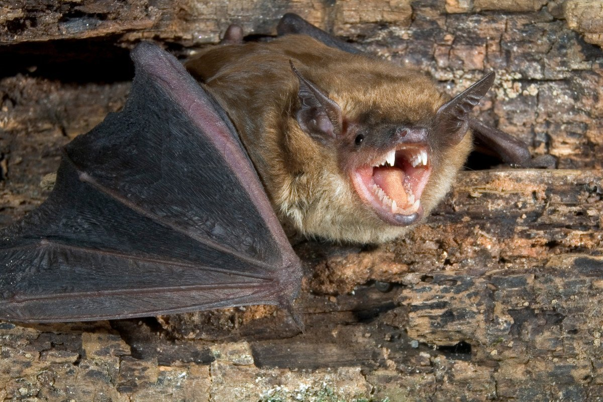 Vampire Bats- Reservoir of Rabies virus