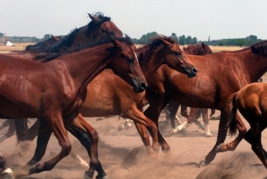 Prevention of African Horse Sickness