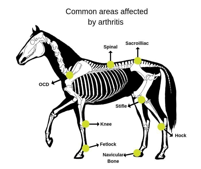 Arthritis sites in Horses