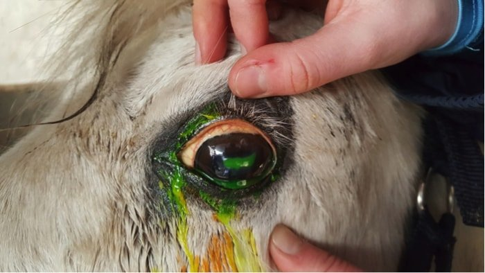 Recurrent Uveitis in Horse