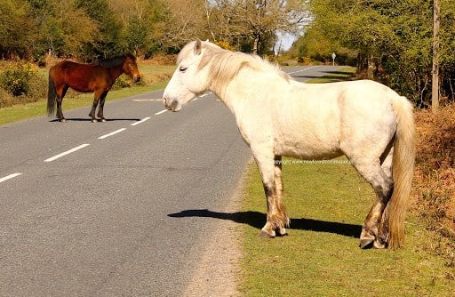 Usages of New Forest Pony