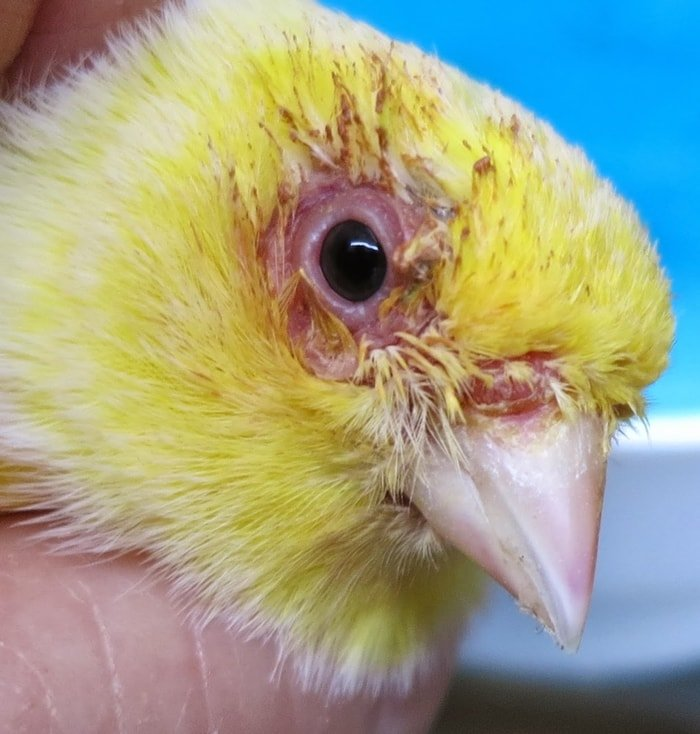 Bird Diseases-Common Eye Problems