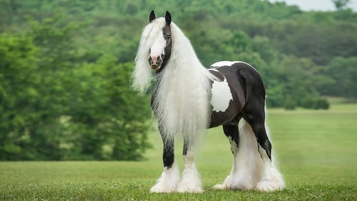 Excellent Horse Gypsy Vanner