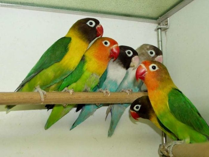 Psittacosis or Parrot Fever