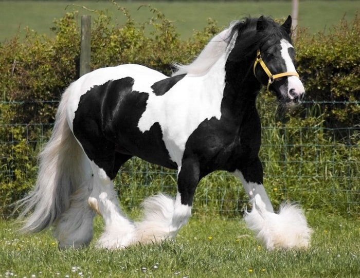 Size and Shape of Gypsy Vanner