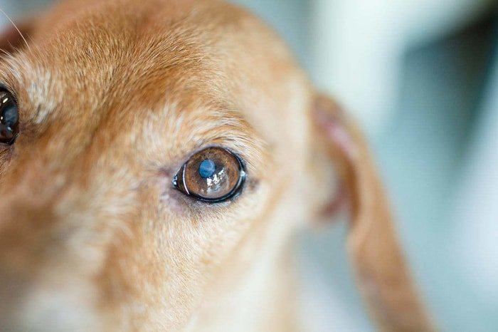 Dog Diseases-Cataract