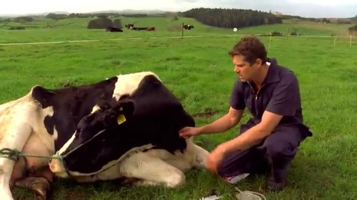 Milk Fever in Cows