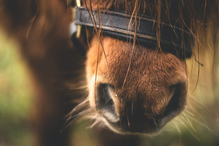How Common is Horse Allergy